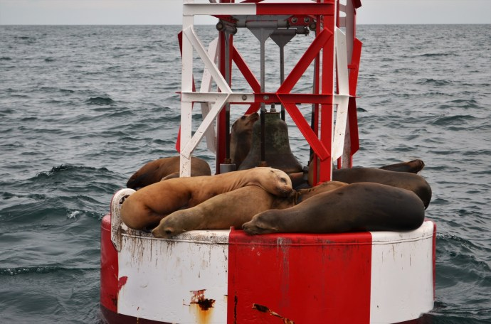 Des lions de mer !