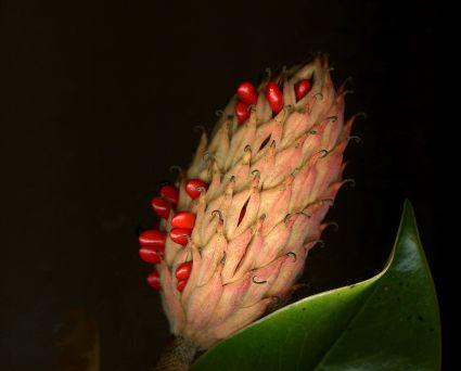 Fall Magnolia