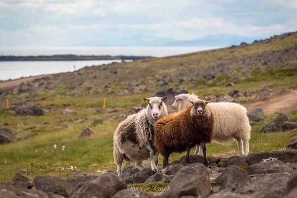Westfjord sheep