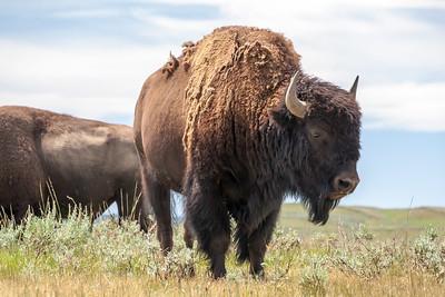 Bison in Hayden Valley, Yellowstone National Park