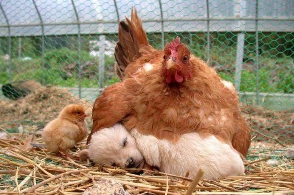 ayam&anjing