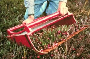 Cranberry scoop with cranberries