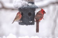 Cardinal & Housefinch