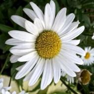 Garden Flowers-10