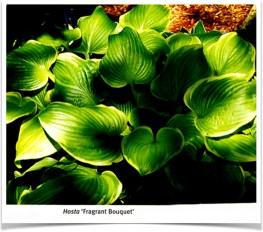 Hosta Fragrant Bouquet
