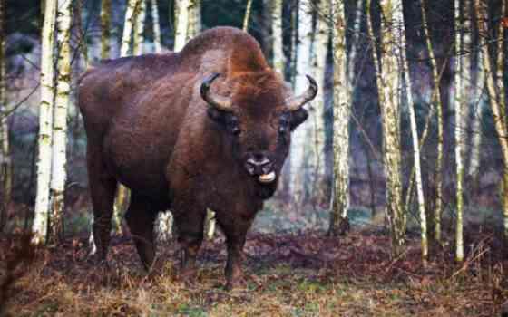 Uro o Bisonte Europeo