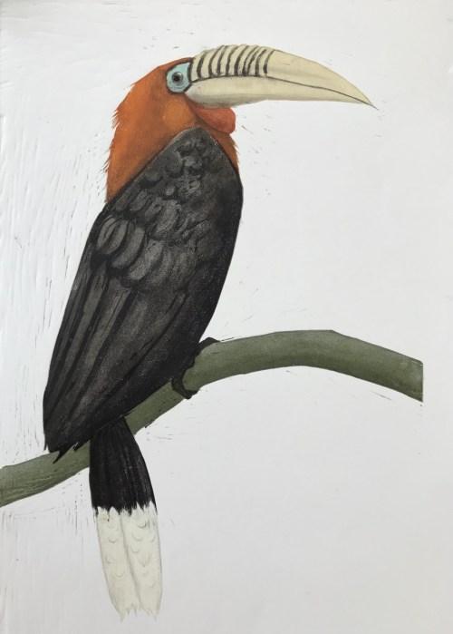 Carolyn Graham Rufous necked hornbill