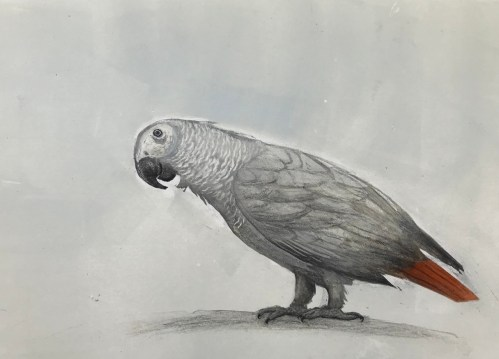 Carolyn Graham Grey Parrot