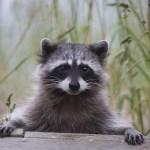 Quinault Wildlife Habitat Project   Quinault Projects