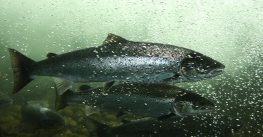 Quinault Salmon Recovery Program