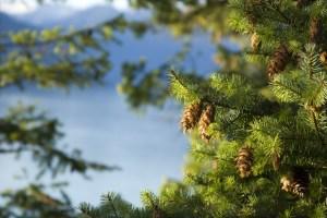 Quinault Tree Improvement Program