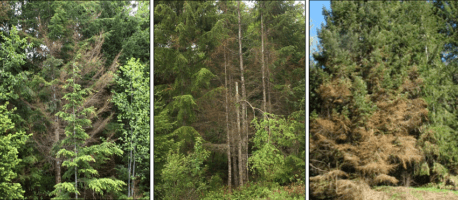 Tree Health Issues | Quinault Forestry Department