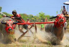 Photo of Kemeriahan Barapan Kerbau di Acara Festival Moyo Sumbawa.
