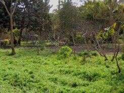 Wissa Wassef dye plants garden1