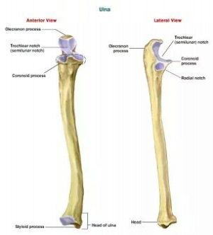 What is the function of the ulna bone?  Quora