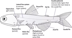 Is a fish's tail fin a fin or a tail?  Quora