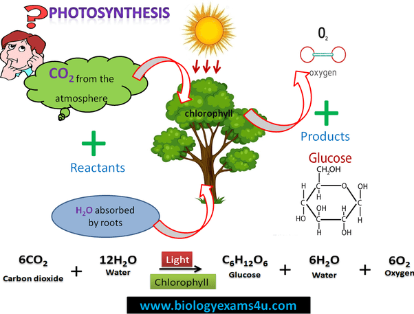 What are byproducts of photosynthesis Quora