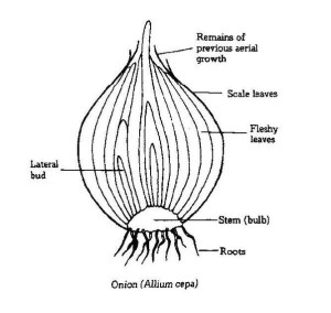 Is onion a root or a modified stem?  Quora