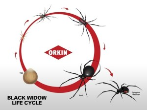 What do baby black widow spiders look like?  Quora