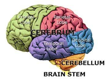 What Are The Most Important Parts Of The Human Brain Quora
