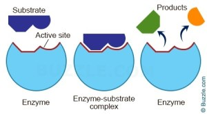 What is a simple explanation of how enzymes work?  Quora