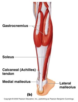 Do calf raises isolate the glutes and hamstrings?  Quora
