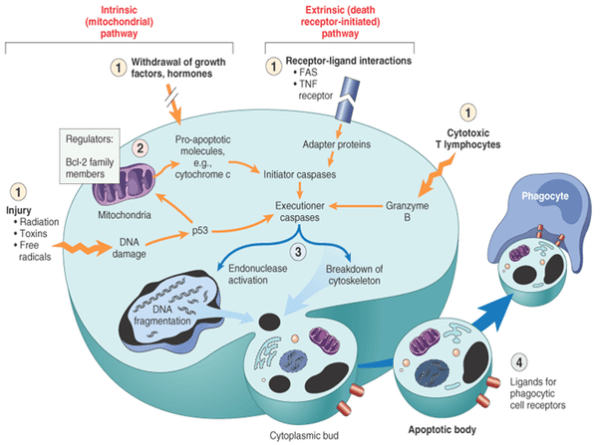 What are the two main pathways of apoptosis? - Quora