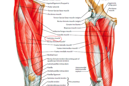 Best Top Inner Thigh Muscle Pain Image Collection