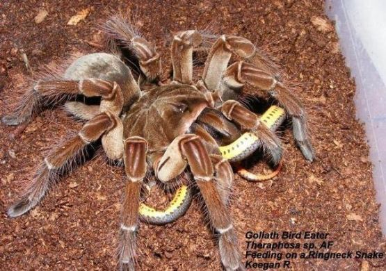 Is it possible for a spider to kill a snake    Quora Indeed it is  Allow me to introduce you to a gorgeous little lady called  the goliath bird eating spider