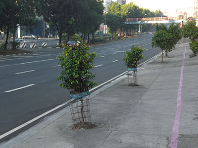 In fairness to MMDA they're planting new ones in place of the removed trees.  I'd just like to appeal to Mr. Bayani Fernando of MMDA for them to just put back the old trees in places that are ready instead of planting new ones.  We certainly would appreciate it if we know that the trees we grew to love along Quezon Ave. are not killed and just made fuel for cooking.  Besides these new plants will take years to restore the look of Quezon Ave. we used to enjoy.