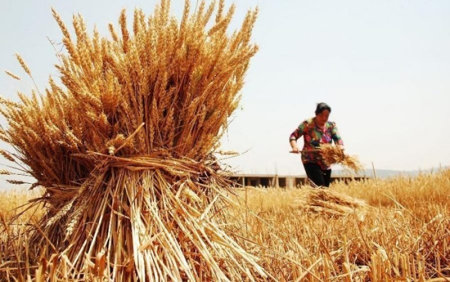 A farmer harvest wheat in Botoushan Village under Shanting District of Zaozhuang, east China's Shandong Province, May 20, 2014 | Photo Courtesy: Imgur