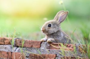 AACR: OncoMyx's engineered rabbit virus shows promise in lung cancer model