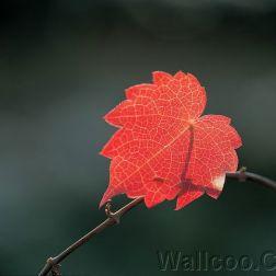 leaf03