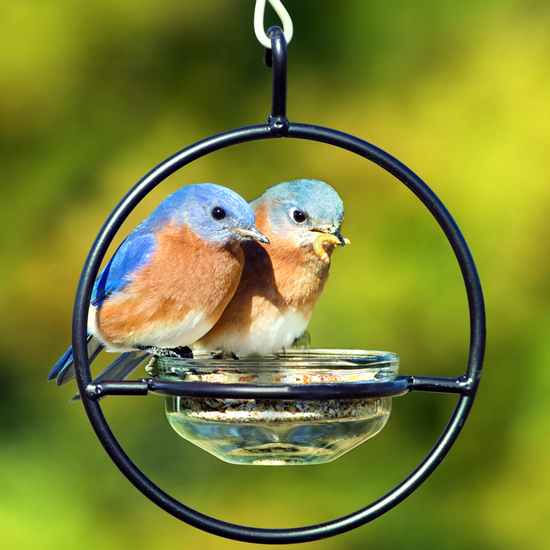 Mealworm Feeder With Bluebird Pair 2MAS9790