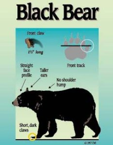 Black_Bear_Description