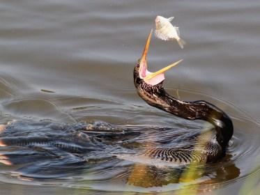 Anhinga/Snake Bird