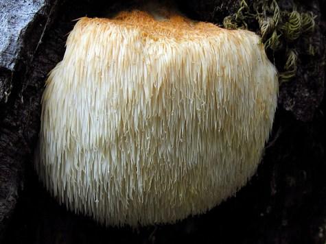 Bearded Tooth Mushroom (Hericium erinaceus)