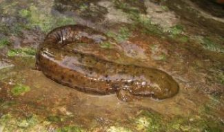 Hellbenders…Snot Otter…Allegheny Alligator…Did You Know?  