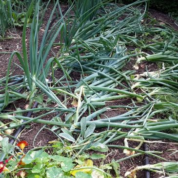 Growing Storage Onions Part 4: Interviews with Experienced Gardeners