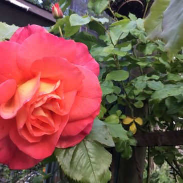 Pruning and Fertilizing Roses