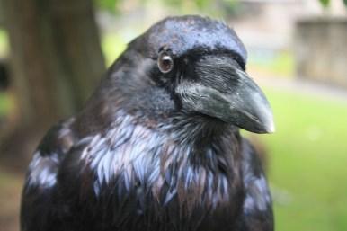 Head_of_Raven