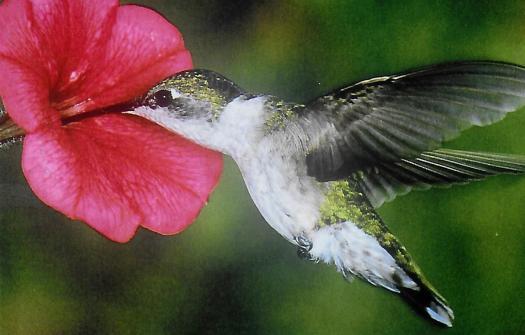 DCK, Hummingbird slide projection