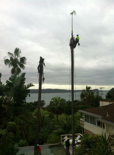 Démontage des palmiers autour d'une piscine