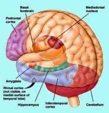 Some of the Internal structures of the human brain