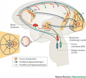 Neural pathways for attention