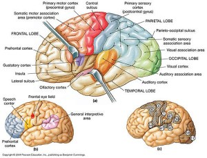 Major anatomical landmarks on the surface of the left cerebral hemisphere