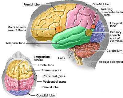 Anatomy of human brain