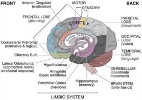 brain-diagram1