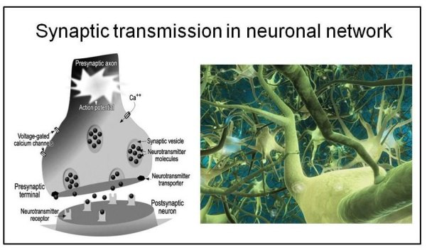 Fig. 27 : Neurotransmission via a neuronal synapse with ion channels (a) and a neuronal network (b)