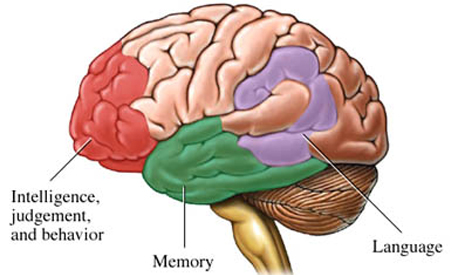 Areas%20of%20Brain%20Affected%20by%20Alzheimers%20Disease